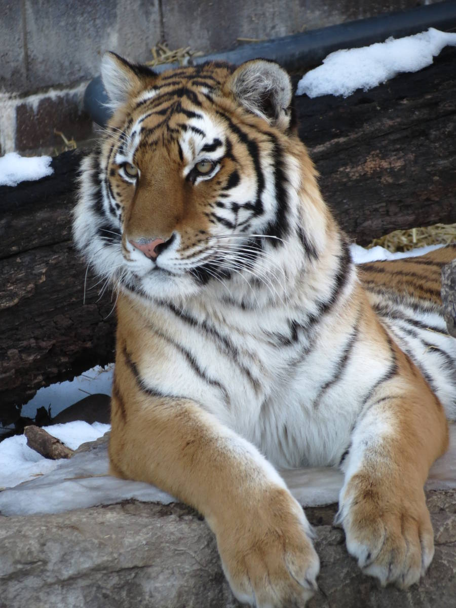 Tiger at the Henry Doorly Zoo
