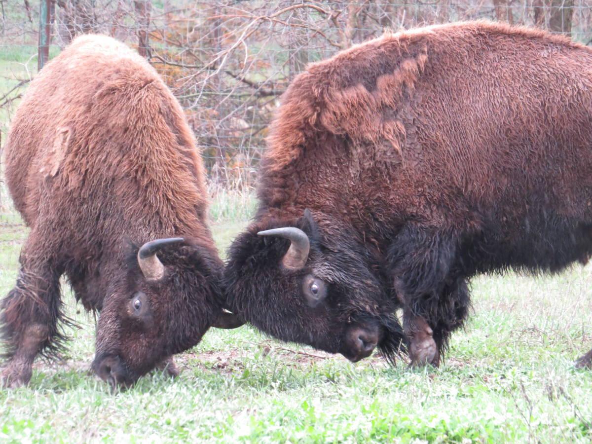 Bison at Lee Simmons Wildlife Safari Park near Omaha