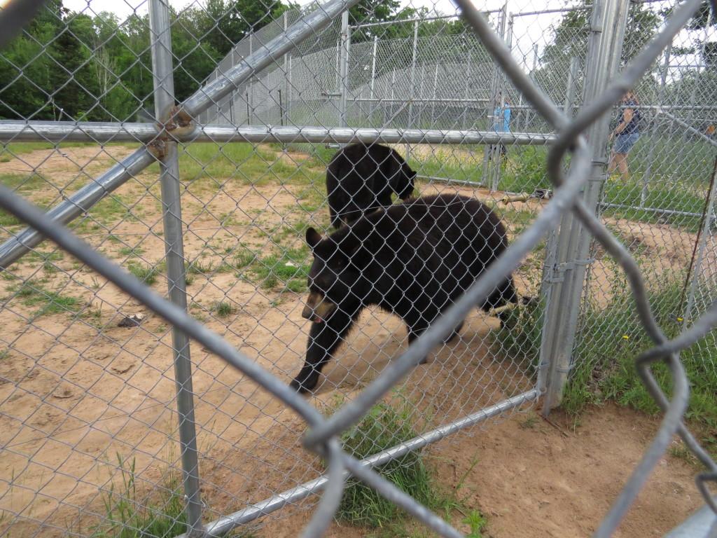 Bears at Oswald Bear Ranch