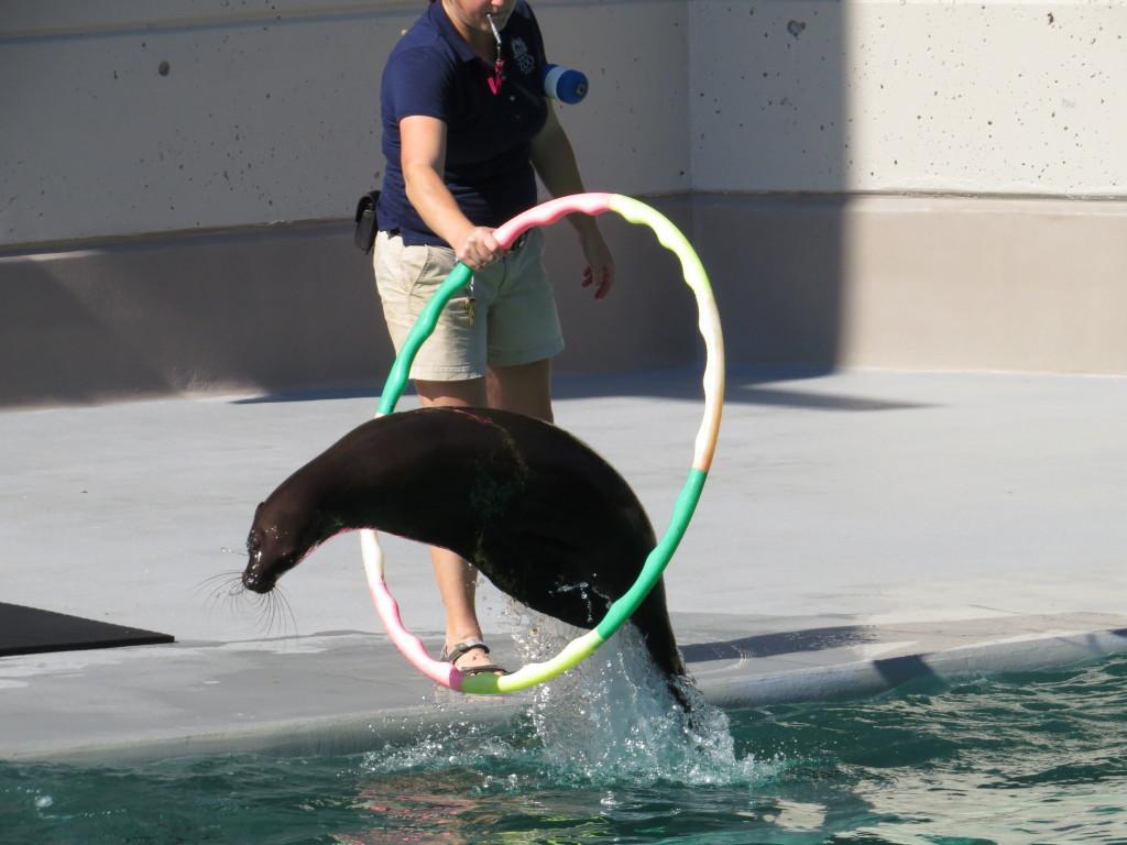 California Sea Lions at KC Zoo