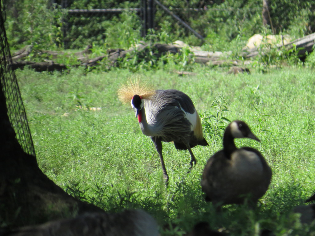 African Crowned Cranes at KC Zoo