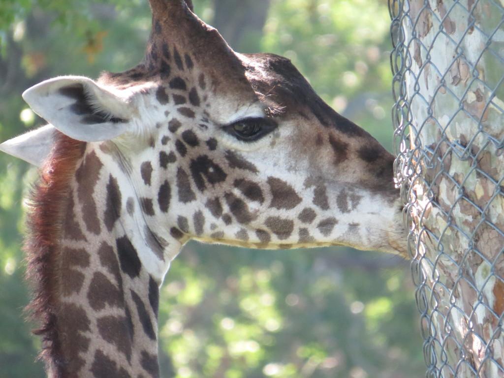Giraffe at Kansas City Zoo