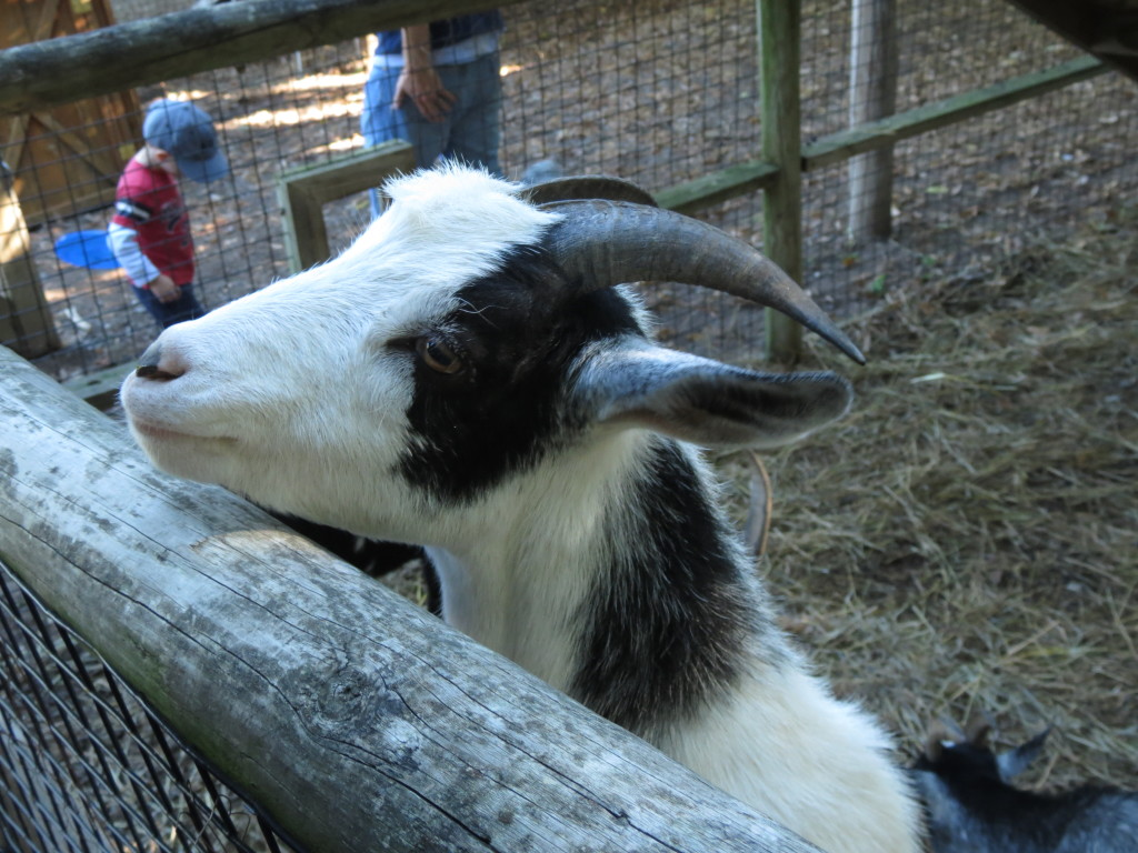 Goat at Vala's Pumpkin Patch