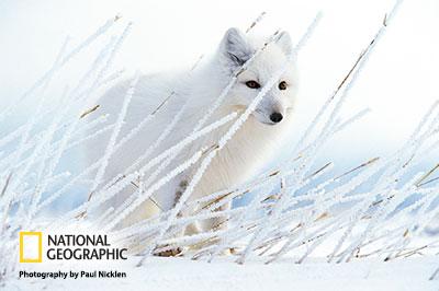 Nicklen_arctic-fox