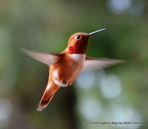 Hummingbird1-001