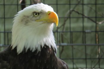 Eagles at Lincoln Childrens Zoo