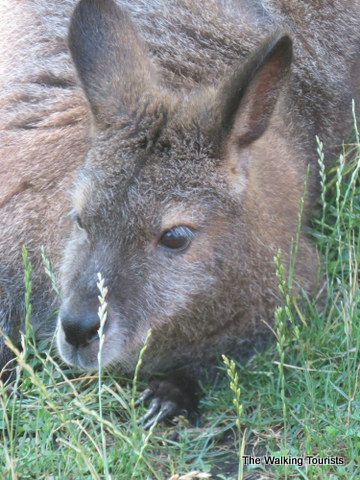 Wallabies, sea lion demo highlight visit to Des Moines' Blank Park Zoo