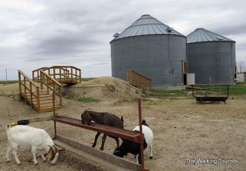 Goats at Enchanted Acres