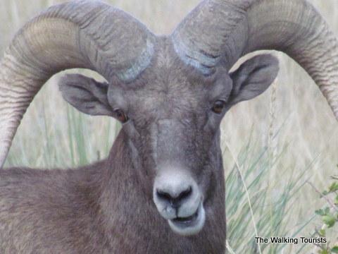 Big Horn Sheep at Garden of the Gods in Colorado Springs