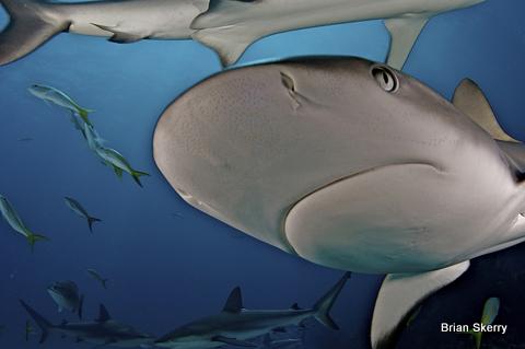 Caribbean Reef Sharks, (Charcharhinus perezii), in The Bahamas.