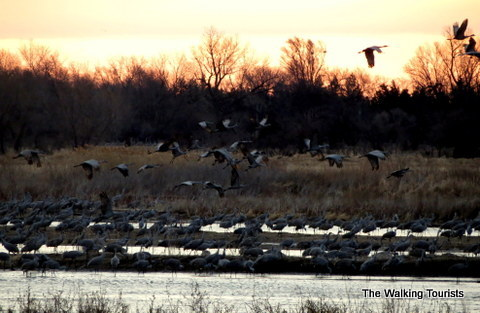 Sandhill Cranes taking off for feeding grounds in fields in Nebraska