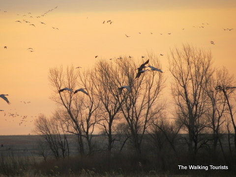 Sandhill Cranes in taking off for the morning