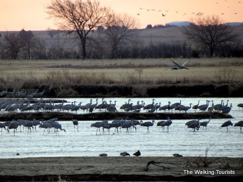 Sandhill cranes at their roost on the Platte River near Grand Island