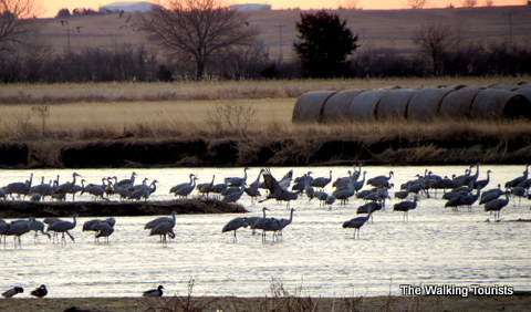 Sandhill Cranes choose the Platte due to the shallow and wide river