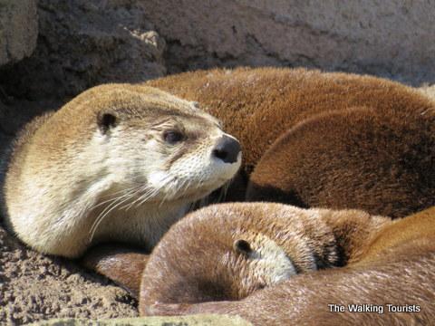 Otters at the Kansas City Zoo