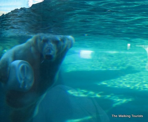 Polar Bear at Kansas City Zoo