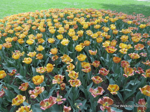 Tulips of all kinds in Pella, Iowa for the Tulip Time Festival