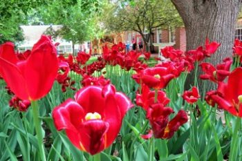 Tiptoeing Through Tulips After Madisons >> Pella Archives The Walking Tourists