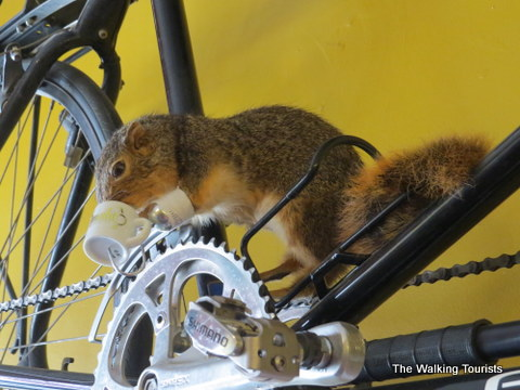 Squirrel found at Omaha Bicycle Co. on Omaha Caffeine Crawl
