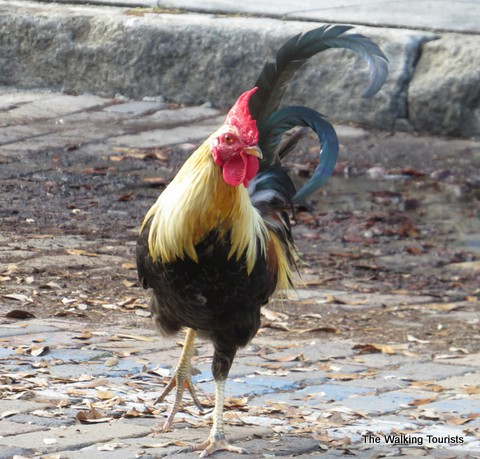 Roosters rule the roost in Ybor City area of Tampa, Florida