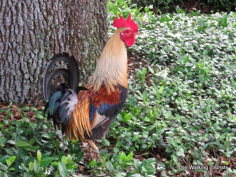 Rooster wandering around Ybor City area of Tampa