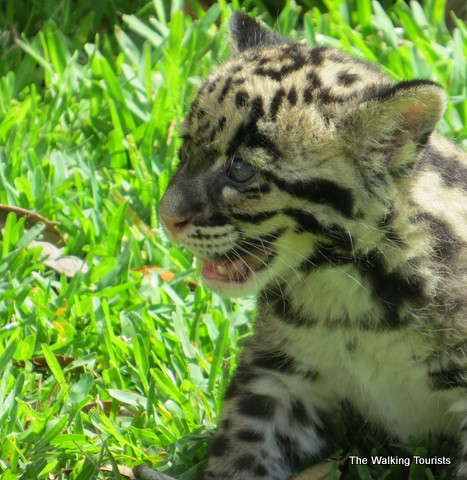 Mowgli the clouded leopard cub at Lowry Park Zoo in Tampa