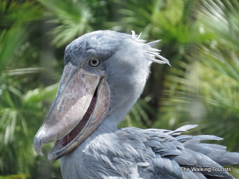 Shoebill stork at the Lowry Park Zoo in Tampa, Florida
