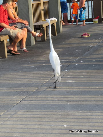 Egret walking on Pier 60 in Clearwater Beach, Florida