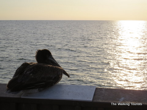 Brown Pelican taking in the sunset in Clearwater Beach