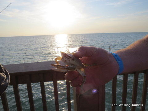 Crab caught on Pier 60 in Clearwater Beach, Florida