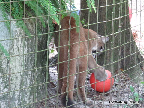 Cougar at Big Cat Rescue in Tampa, Florida