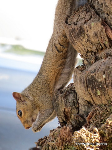 Squirrel hanging upside down while snacking is one of our furry friends in Tampa, Florida
