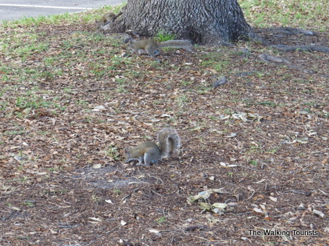 Squirrel scrounging around for food was one of our furry friends in Tampa, Florida