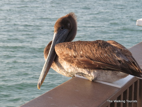 Beautiful brown pelican hanging out with us at Pier 60 in Clearwater, Florida