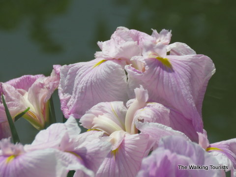 Beautiful lillies at Missouri Botanical Gardens