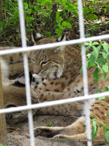 Relaxing at Big Cat Rescue in Tampa, Florida