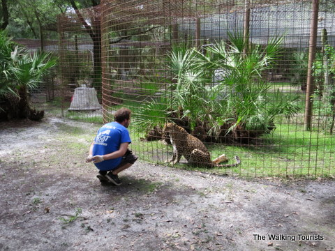 Working on enrichment at Big Cat Rescue in Tampa, Florida