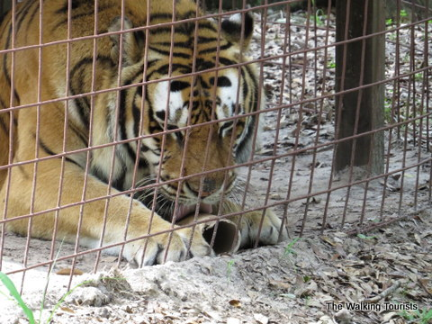 Treats/Enrichments handed out at Big Cat Rescue in Tampa, Florida