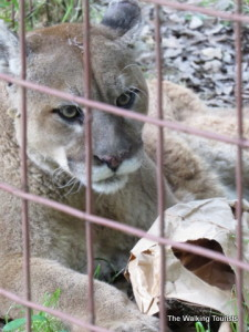 Big Cat Rescue provides safe haven in Tampa
