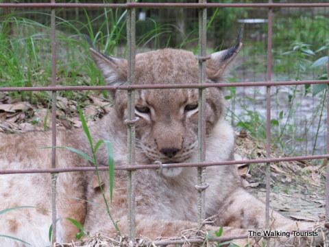 Lynx at Big Cat Rescue