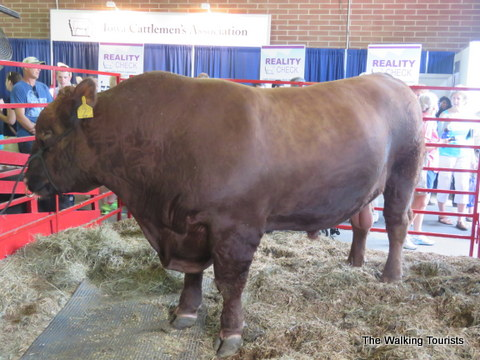 Animals on display at the Iowa State Fair