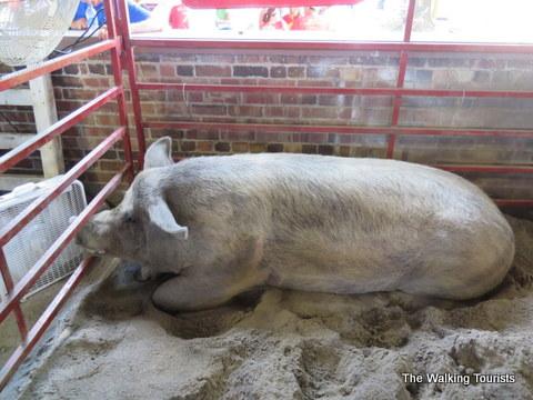 Animals at the Iowa State Fair