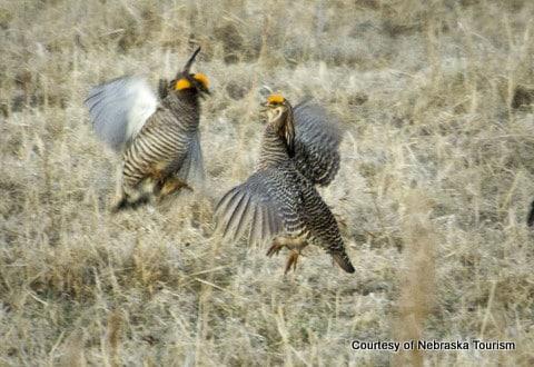 Prairie Chickens in Nebraska