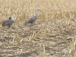 Annual Sandhill crane viewing trip adds more central Nebraska sightseeing