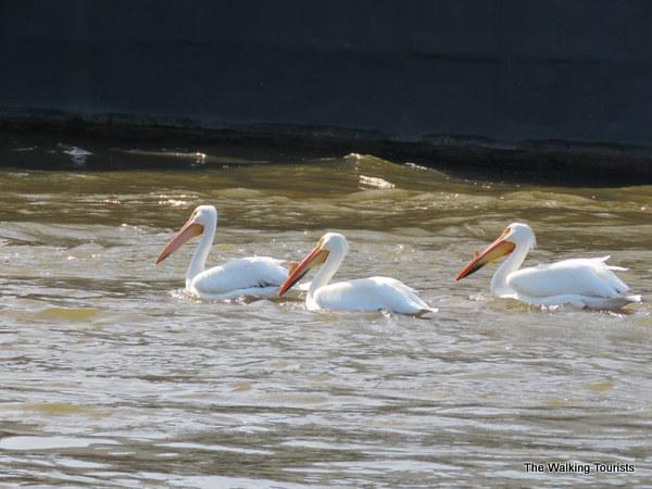 Pelicans migrating in Davenport, Iowa