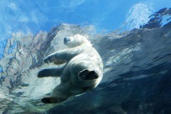 Polar Bear in Travel Manitoba