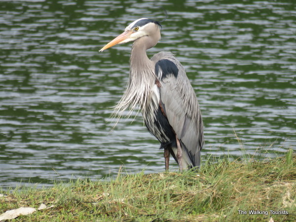 A blue heron standing along the water at Nisqually National Wildlife Refuge