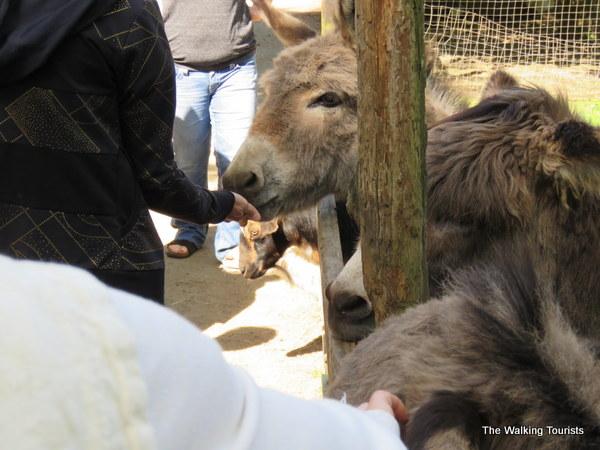 Donkeys at the Kangaroo Farm in Washington