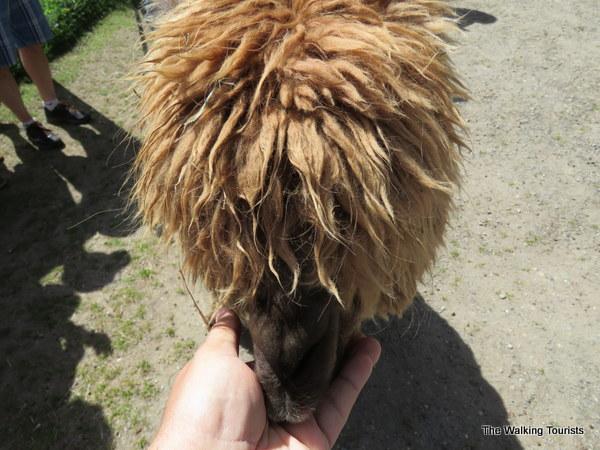 Feed the animals at the Kangaroo Farm in Arlington, Washington