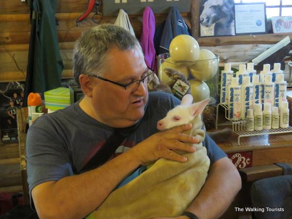 Holding animals at the Kangaroo farm